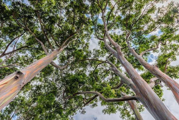 De kleurrijke en lange bomen van de regenboogeucalyptus op oahu, hawaï Premium Foto