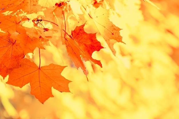 De kleurrijke natuurlijke bladeren van de de herfstesdoorn vertakken zich. Premium Foto