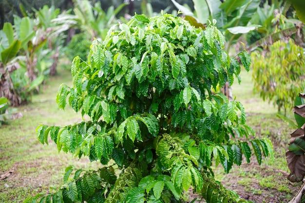 De koffieboom van robusta met dauwdaling in koffietuin Premium Foto