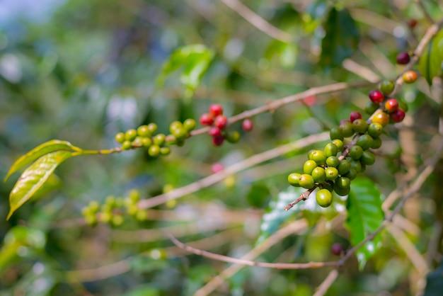 De koffieinstallatie, rijpe koffiebonen op tak sluit omhoog Premium Foto