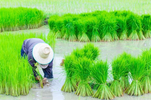 De landbouwersrijst die van thailand het werken planten Premium Foto