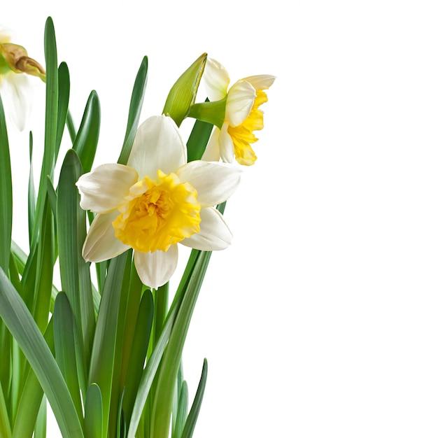 De lente bloeit geïsoleerde narcissen. Gratis Foto