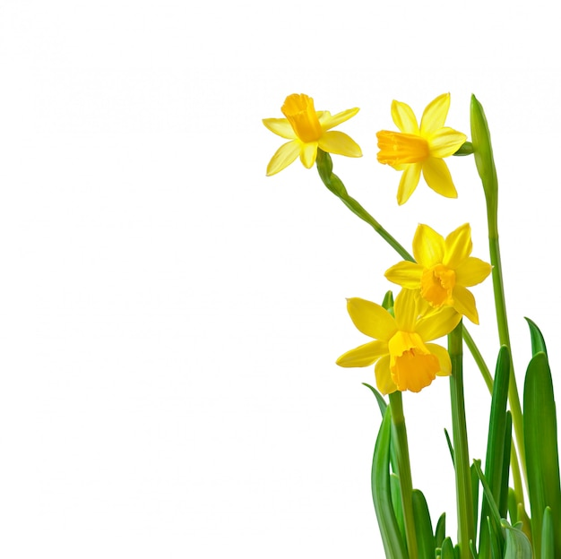De lente bloeit narcissen die op wit worden geïsoleerd Gratis Foto