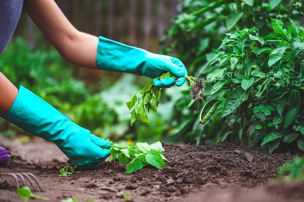 De lente die groenten in de tuin wiedt. tuinieren en groenteteelt Premium Foto