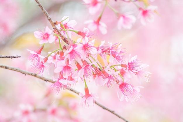 De lentetijd met prachtige kersenbloesems, roze sakura-bloemen. Premium Foto