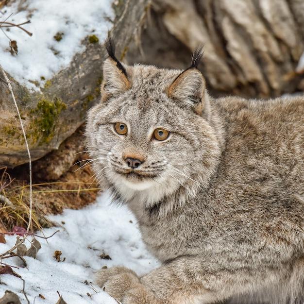 De lynx van canada hurkte in de sneeuw, extreme close-up Premium Foto