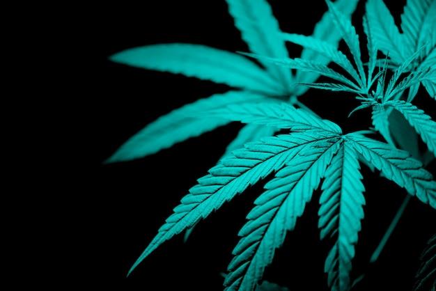De marihuana verlaat de installatieboom van de cannabis op donkere achtergrond Premium Foto