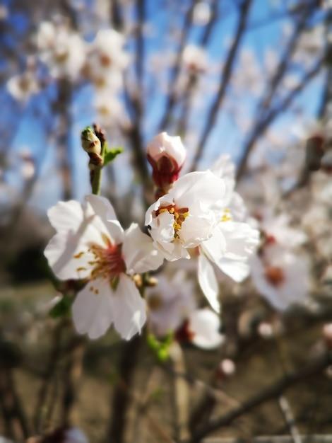 De mening van de close-up van een mooie bloem van de amandelbloesem Gratis Foto