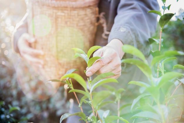 De mensenoogst / plukt verse groene theebladen bij het hoge gebied van de landthee in chiang mai thailand Gratis Foto