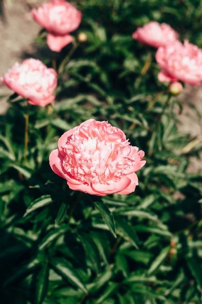De mooie lichtroze pioen bloeit dicht omhoog in de tuin Premium Foto