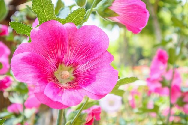 De mooie roze bloesems van de bloemstokroos verfraaien in tuin Premium Foto