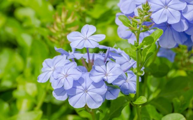 De mooiste paarse bloemen. voor de achtergrond Premium Foto