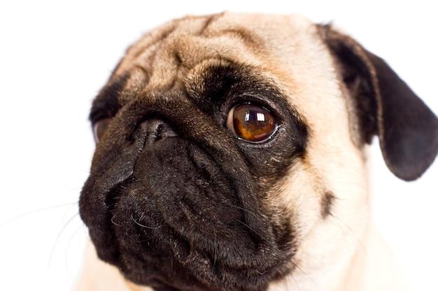 De mops hond zit en kijkt recht in de camera. trieste grote ogen. Premium Foto