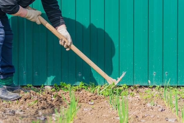 De oude vrouw verwijdert onkruid uit haar groene knoflookbedden met behulp van schoffel. Premium Foto
