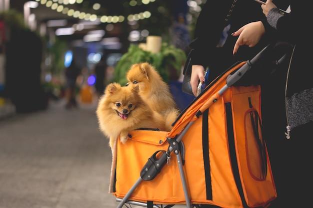 De pomeranianhond zit in de karretje in supermarkt | Premium Foto