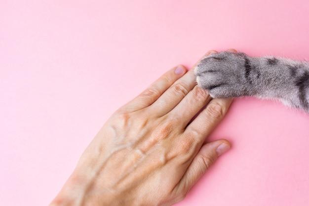 De poot van de grijze gestreepte kat en menselijke hand op een roze. vriendschap van een man met een huisdier, zorgzaam voor dieren. Premium Foto