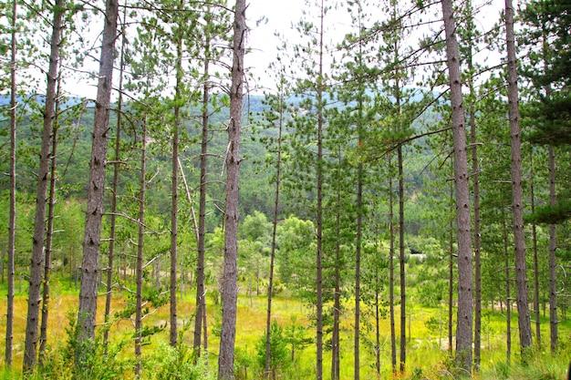 De rijlandschap van pijnboom bosbomen Premium Foto