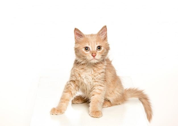 De rode of witte kat ik op witte studio Gratis Foto