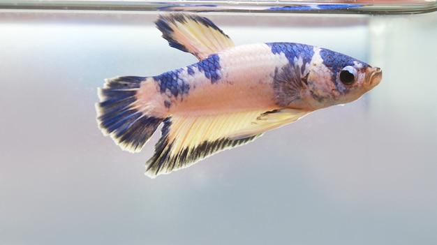 De rode witte bèta-vissenstaart zwemt in watertank Premium Foto