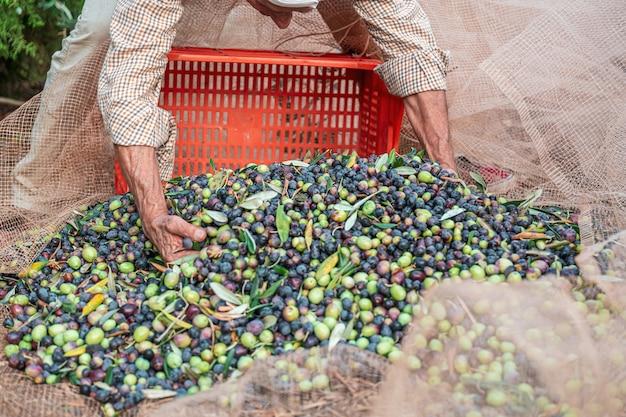 De seizoensgebonden oogst van olijven in puglia, ten zuiden van italië Premium Foto