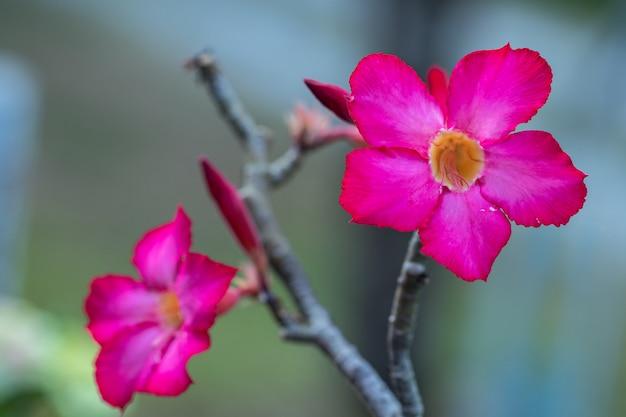 De selectieve obesumbloem van nadruk roze en witte adenium in een tuin. Premium Foto