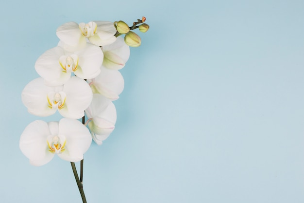De tak van zuivere witte orchideebloem op blauwe achtergrond Gratis Foto