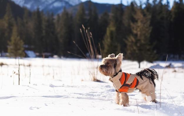 De terriër van yorkshire in de sneeuw die overall draagt Premium Foto