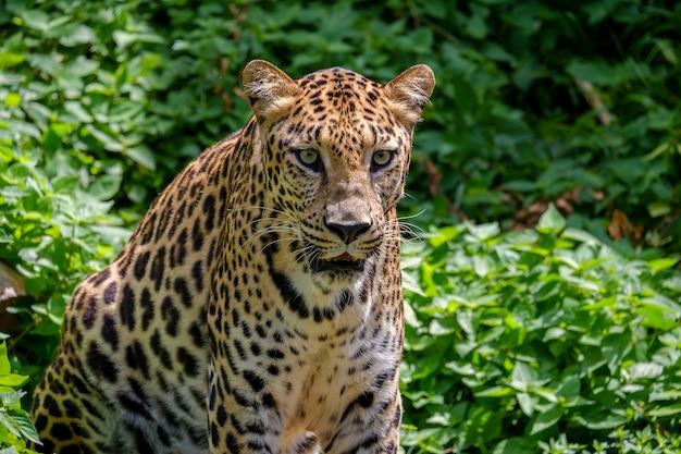 De tijger aan het kijken. Premium Foto