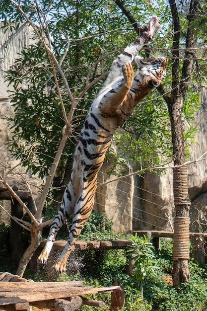 De tijger sprong om te eten in de show van de dierentuin. Premium Foto