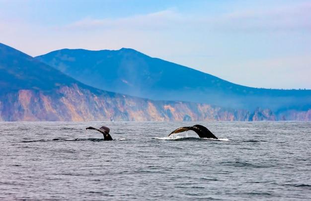De twee bultruggen zwemmen in de stille oceaan, de staart van de walvissen duikt Premium Foto