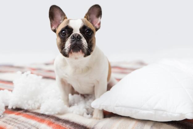 De vernietiger van het huishuisdier ligt op het bed met een gescheurd hoofdkussen. huisdierenzorg abstracte foto. kleine schuldige hond met grappig gezicht. Premium Foto