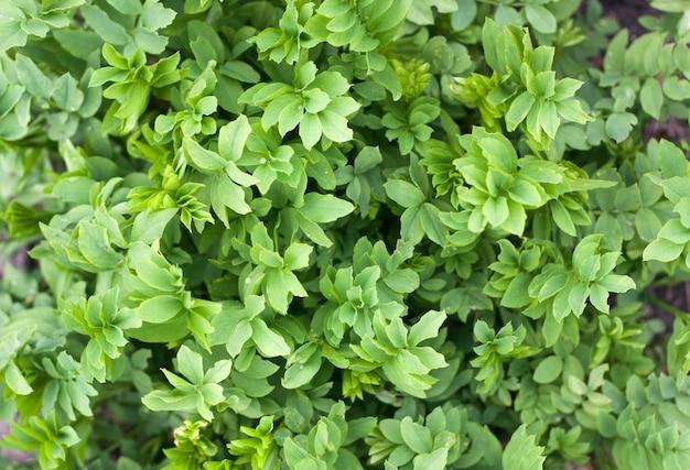 De verse groene hoogste mening van de bladerentextuur Premium Foto