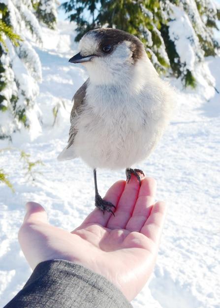 De vlaamse gaai die van canada op iemands hand rust dient een sneeuwbos in Gratis Foto