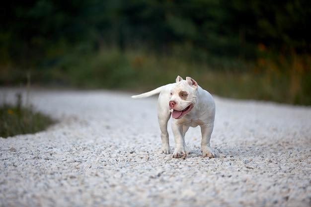 De vrolijke hond pestkop loopt op grintspoor en speelt in het park. Premium Foto