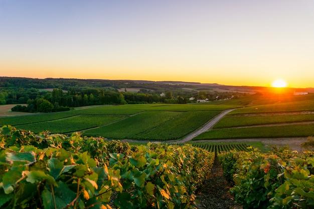 De wijnstokdruif van de rij in champagnewijngaarden bij montagne de reims Premium Foto