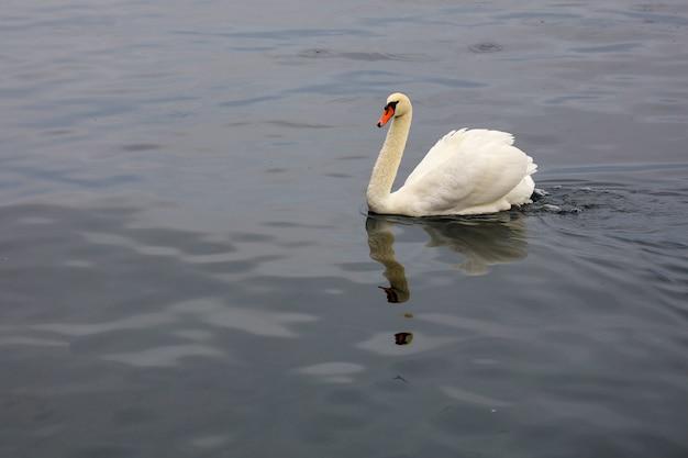 De witte zwaan zwemt in rivier in zwitsers Premium Foto