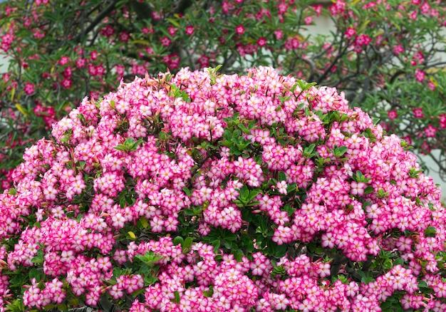 De woestijn nam bloemen toe die in de tuin bloeien. Premium Foto
