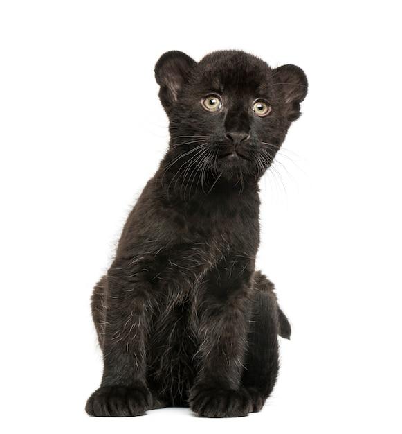 De zwarte zitting van de luipaardwelp die op wit wordt geïsoleerd Premium Foto