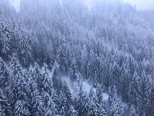 Dennenbos met de bomen bedekt met sneeuw op een mistige dag Gratis Foto