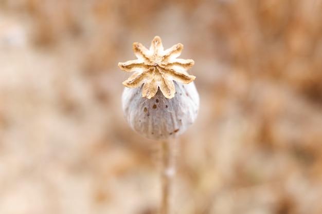 Detail van de rijpe vrucht van een koninklijke opiumpapaver, papaver somniferum, waarvan de zaden worden gebruikt om morfine te extraheren. Premium Foto