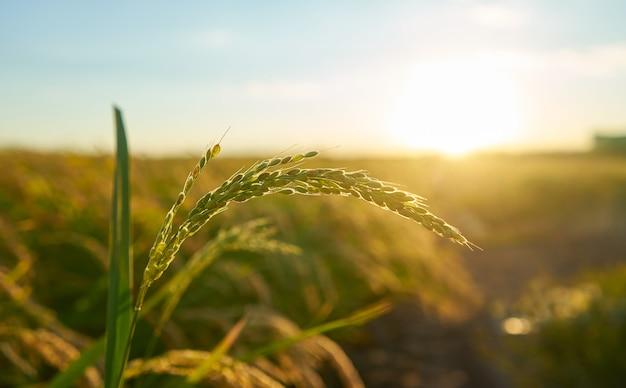 Detail van de rijstplant bij zonsondergang in valencia, met de plantage onscherp. rijstkorrels in plantenzaad. Gratis Foto