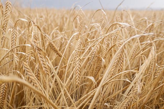 Detail van droge korenaren in een mediterrane plantage. Premium Foto