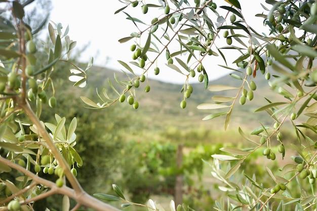 Detail van olijfboom met groene olijven Premium Foto