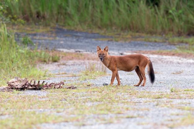 Dhole of aziatische wilde honden die een hertkarkas eten bij het nationale park van khao yai, thailand Premium Foto
