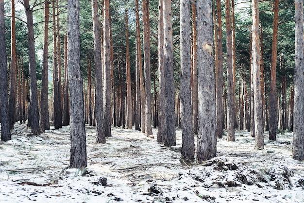 Dicht bos met hoge bomen in de winter Gratis Foto