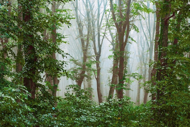 Dichte mist in het bos. mysterieuze sfeer in het bos. door de mist worden bomen bekeken_ Premium Foto