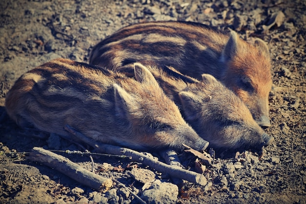 Dieren - wilde zwijnen in het wild. Premium Foto
