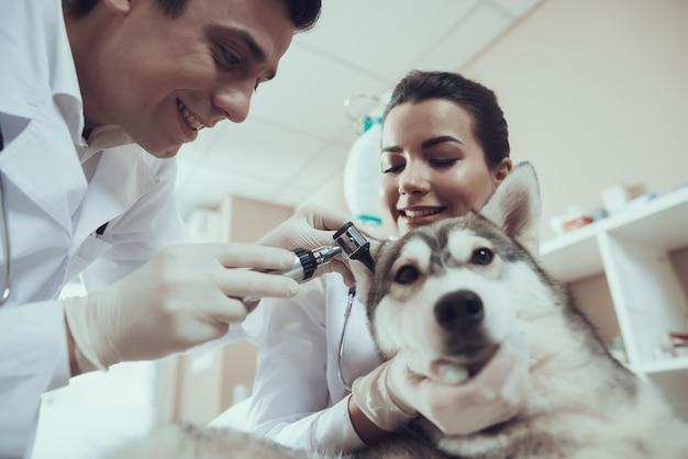 Dierenarts die husky ears met otoscoop onderzoekt. Premium Foto