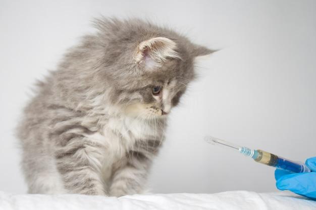 Dierenarts die injectie geeft aan gray persian weinig pluizig maine coon kitte bij dierenartskliniek. Premium Foto