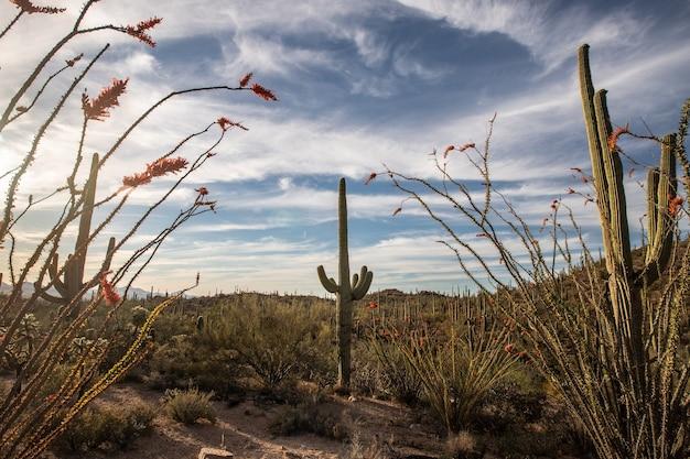 Dit is de foto van saguaros en zonsondergang in saguaro national park, arizona, vs. Premium Foto